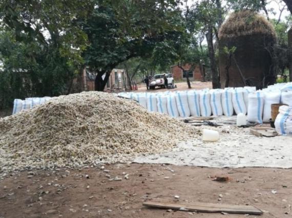 2018 07 CCF Maize Harvest